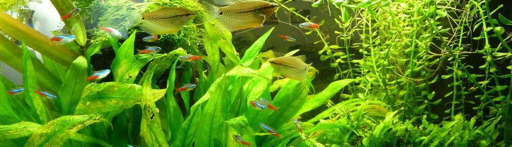 Mosaikfadenfische und Neonsalmler