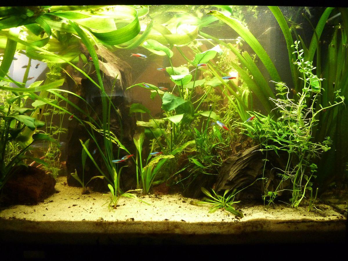 echinodorus geralds aquarien. Black Bedroom Furniture Sets. Home Design Ideas