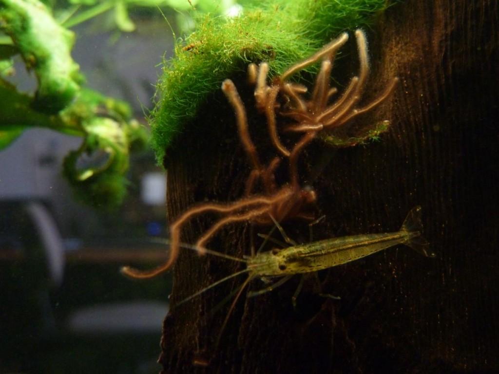 Amanogarnele neben Rotalgen an einer Wurzel